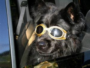 dog sun glasses